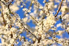 Free Blooming Tree As Background Stock Image - 23940081