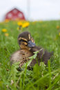Free Rouen Duckling Stock Photography - 23954102