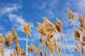 Free Dry Reed - Cane Stock Photo - 23955190