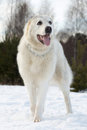 Free Central Asian Shepherd Dog Breed Is On The Snow Stock Photo - 23958780