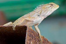 Free Chameleon, Lizard Royalty Free Stock Photo - 23952035
