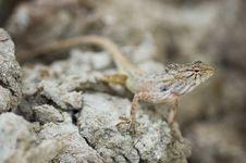 Free Chameleon, Lizard Stock Photos - 23952103
