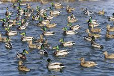 Free Flock Of Mallard Ducks And Drakes In The Lake Royalty Free Stock Photos - 23953068