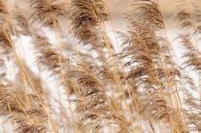 Free Common Reed &x28;Phragmites&x29; Royalty Free Stock Photography - 23953147