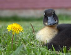 Free Duck And Dandilion Royalty Free Stock Image - 23953166