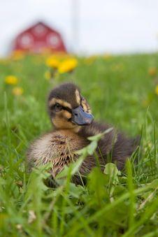 Rouen Duckling Stock Photography