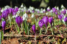 Free Blossoming Crocuses And Snowdrops Stock Image - 23955081