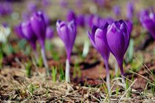 Free Blossoming Crocuses And Snowdrops Stock Image - 23955091