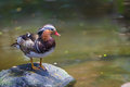 Free Mandarin Duck Stock Photography - 23963832