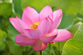 Free Blossom Pink Lotus Flower Royalty Free Stock Images - 23965819