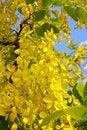 Free Golden Shower Tree Royalty Free Stock Photo - 23966065