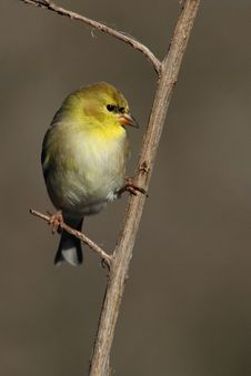 Free American Goldfinch Royalty Free Stock Image - 23963946