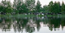 Free Herd Of Cows Next To Royalty Free Stock Images - 23965669