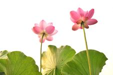 Free Blossom Pink Lotus Flower Royalty Free Stock Photos - 23965758