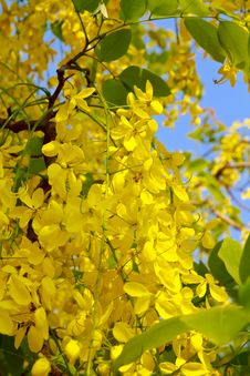 Free Golden Shower Tree Royalty Free Stock Photo - 23966065