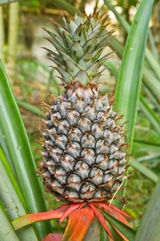 Free Pineapple Plant Stock Images - 23966084