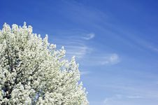 Free White Blossoms In Springtime Royalty Free Stock Photos - 23967298