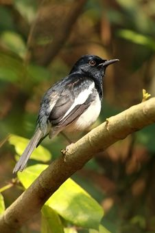 Oriental Magpie Robin Royalty Free Stock Photos
