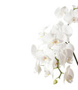 Free White Orchid Stock Photos - 23979673