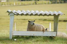 Free Sheep Stock Images - 23973574