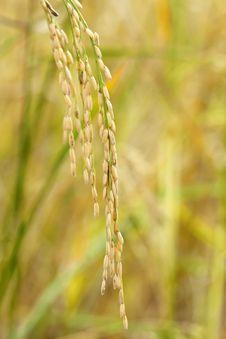 Free Green Paddy Rice Stock Photo - 23975230