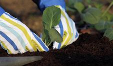Free Planting Vegetable Plants Stock Photos - 23975243