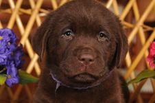Free Closeup Portrait Of Brown Labrador Puppy Royalty Free Stock Image - 23978686