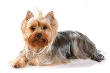 Cute Portrait Of Lying Yorkshire Terrier Royalty Free Stock Images
