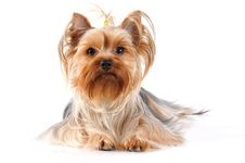 Yorkshire Terrier Lying  Portrait Royalty Free Stock Images