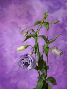 Eustoma Stock Photography