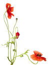 Free Red Poppies Stock Photography - 23980132