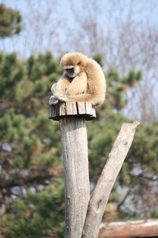 Free Young Monkey Royalty Free Stock Photo - 23980955