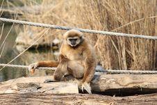 Free Monkey Royalty Free Stock Photos - 23980988