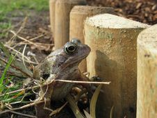 Free Garden Frog Stock Images - 23981014