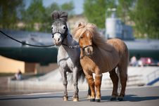Small Horses In City Royalty Free Stock Image