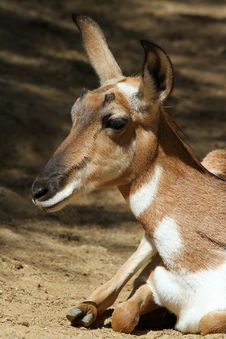 Free Pronghorn Royalty Free Stock Photo - 23984275