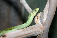 Free Green Snake Royalty Free Stock Photo - 23984725