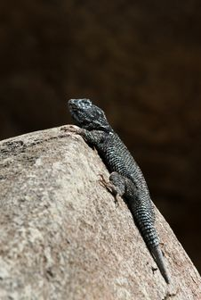 Free Lizard Stock Photos - 23984783