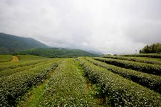 Free Level Of Green Tea Field. Royalty Free Stock Photography - 23984957