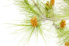 Free Pine Branches Royalty Free Stock Photo - 23988565