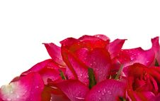 Free Close Up Of Red Rose Stock Images - 23989364