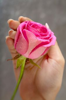 Giving A Rose. Woman S Hand Royalty Free Stock Image