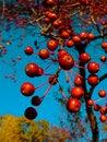 Free Autumn Berries Royalty Free Stock Photos - 23992008