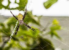 Argiope Appensa &x28;Hawaiian Garden Spider&x29; Stock Photos