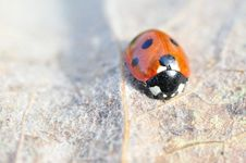 Free A Beautiful Ladybird On Withered Leaf Stock Photo - 23993640