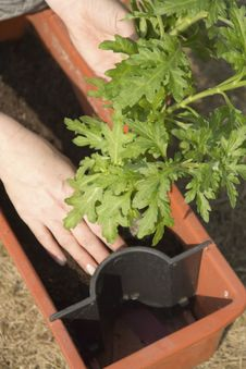 Free Transplanting Plants To Self-watering Pots. Royalty Free Stock Photos - 23998138