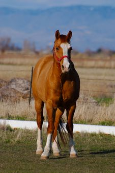 Free Chestnut Horse Royalty Free Stock Photography - 23999367
