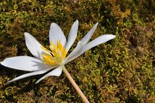 Free Bloodroot Royalty Free Stock Photography - 23999697