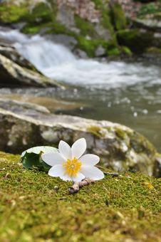 Free Bloodroot Royalty Free Stock Photo - 23999705
