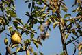 Free Baia Mare Pear Tree Stock Photo - 244160